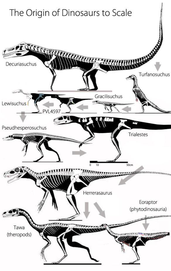 Figure 2. The origin of dinosaurs to scale. Gray arrows show the direction of evolution. This image includes Decuriasuchus, Turfanosuchus, Gracilisuchus, Lewisuchus, Pseudhesperosuchus, Trialestes, Herrerasaurus, Tawa and Eoraptor.