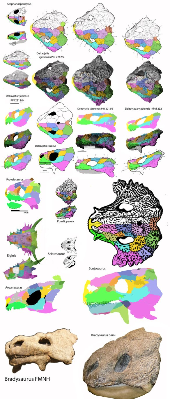 Figure 3. Pareiasaur skulls to scale. Scutosaurus and Bradysaurus are the large ones. Sclerosaurus is the smallest one.