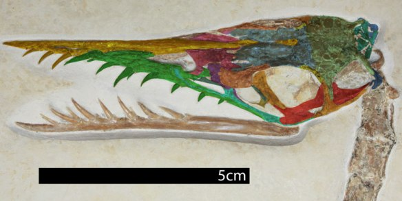 Figure 3. Rhamphorhynchus Tyrrell specimen after DGS colorizing of the bones.