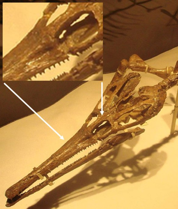 Figure 5. The skull of Tchoiria appears to also have a preorbital dimple.