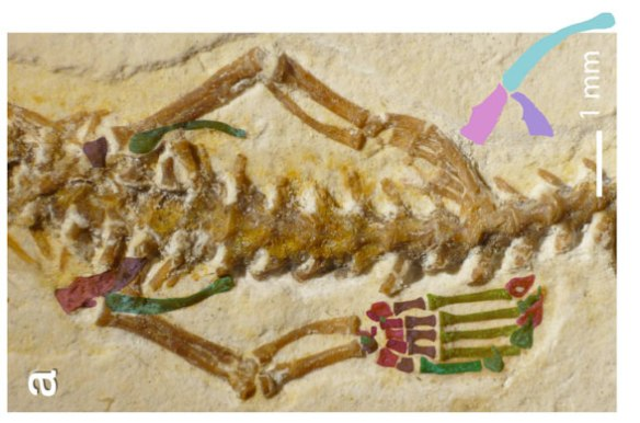 Figure 2. The hind limbs of Tetrapodophis, here colorized to differentiate the digits (in which all phalanges are fused) from the metatarsals.