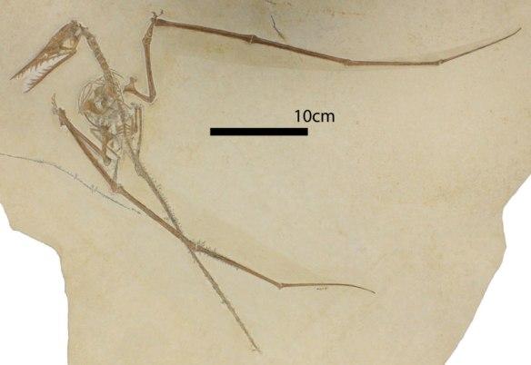 Figure 1. The new Tyrrell specimen of Rhamphorhynchus.