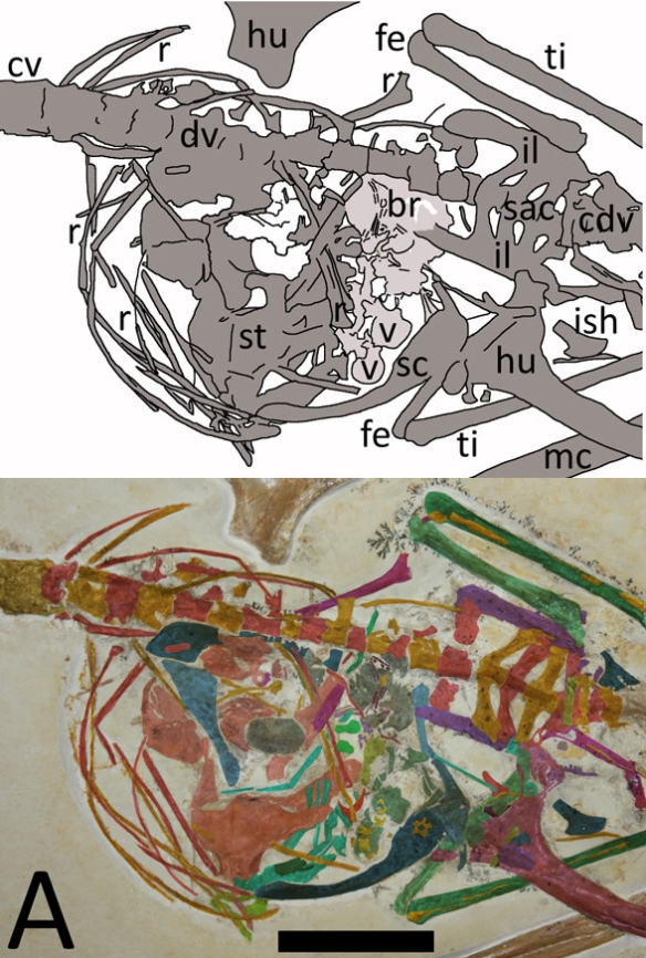 Figure 5. Torso of Rhamphorhynchus from Hone et al. 2015. Above as originally interpreted. Below using DGS. What Hone et al. identify as a mc(metacarpal) is the radius + ulna. Scale bar = 2 cm. One rib is actually aprepubis. An extra sacral rib is identified here. The coracoids are in light blue. The light gray areas maybe an egg. A smaller second possible egg is also in gray. The sternal complex (not just the sternum) appears to be broken into several parts. Fibula parts are identified along with a second ischium.