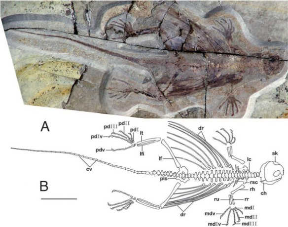 Figure 3. Xianglong overall. Note the detail recovered in the tracing of the skull here. These authors had the original in their hands, yet DGS was able to pull more data out using published photos.