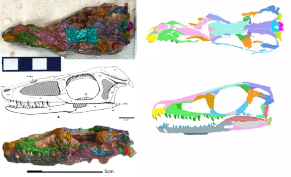 Figure 1. Barberenasuchus traced using DGS color over the bones, then transferred and shifted to recreate the in vivo skull in two views. Click to enlarge. Note the parietal does not produce a crust, but is flat. The maxilla ventral rim is convex. The postorbital does not have an acute curve, but standard right angle shape. Both the lacrimal and postorbital were split longitudinally during taphonomy. All of the bones are cracked, making sutures hard to distinguish. This specimen is a sister to Herrerasaurus in the large reptile tree, based on this skull material, but note the lack of a lateral flange of the nasal.