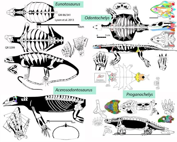 Figure 3. Sister taxa according to Bever et al. Eunotosaurus purportedly nests between Ascerosodontosaurus and the turtles. The large reptile tree, on the other hand, finds that only the turtles are related to each other.