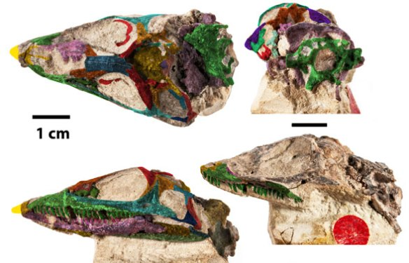Figure 1. Elachistosuchus (Janensch 1949, Sobral et al. 2015) is a sister to BPI 2871, a basal choristodere.