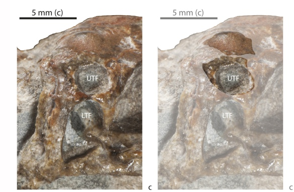 Figure 5. Eunotosaurus juvenile right side showing purported absent supratemporal. At right a possible displaced supratemporal is identified as bump on the otherwise humpless parietal that pretty well fits the opening left by its taphonomic shift.