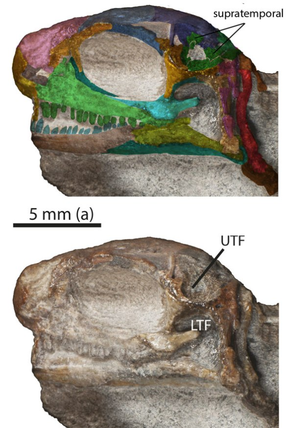 Figure 4. Juvenile Eunotosaurus showing purported left upper temporal fenestra left by an absent supratemporal.