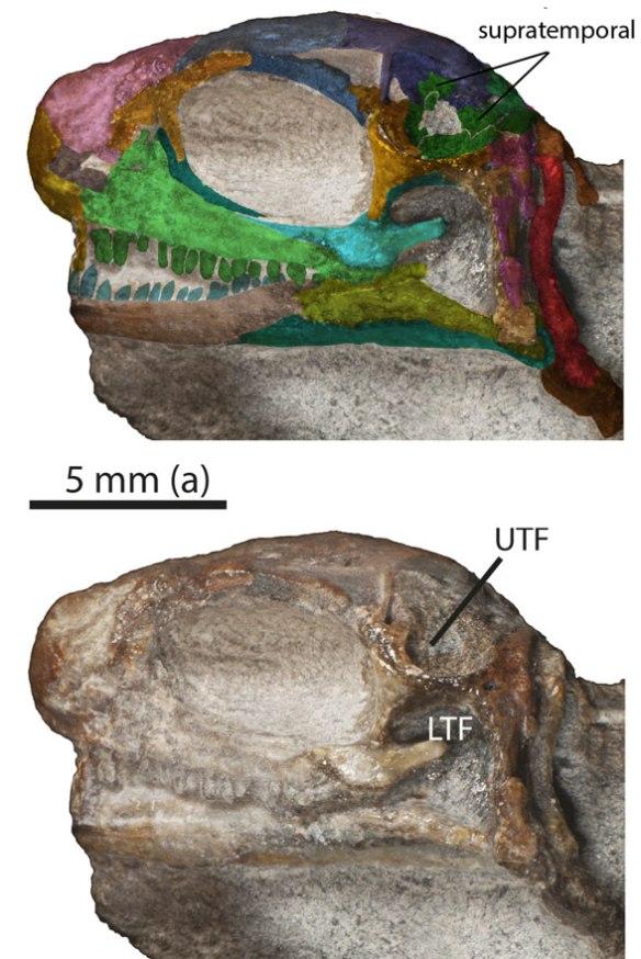 Figure 4. Juvenile Eunotosaurus showing purported left upper temporal fenestra left by an absent supratemporal.