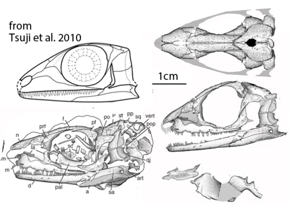 Figure 1. Microleter in situ and reconstructed with a larger lateral temporal fenestra than originally reconstructed. The skull is 3 cm long. That's a pair of fused vomers and a left pterygoid (dorsal view) at lower right. Freehand original reconstruction by Tsuji et al. 2010 at upper left.