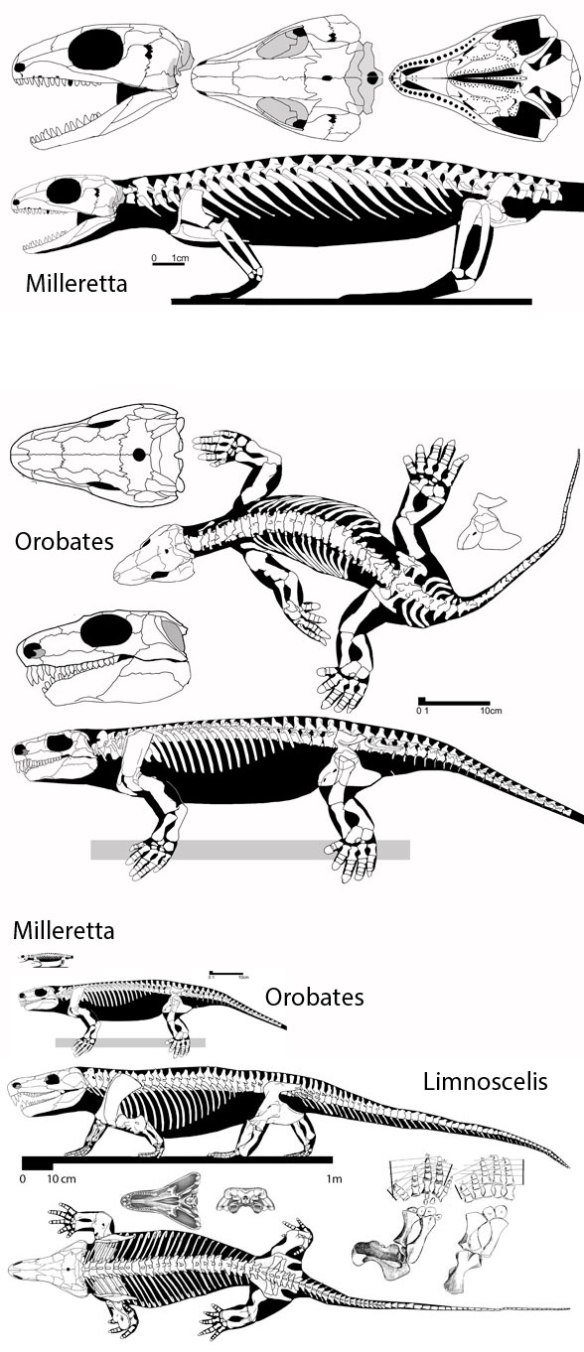 Figure 1. Limnoscelis and two suitable ancestral taxa, Orobates and Milleretta, all shown to scale (below) and to fit (above).