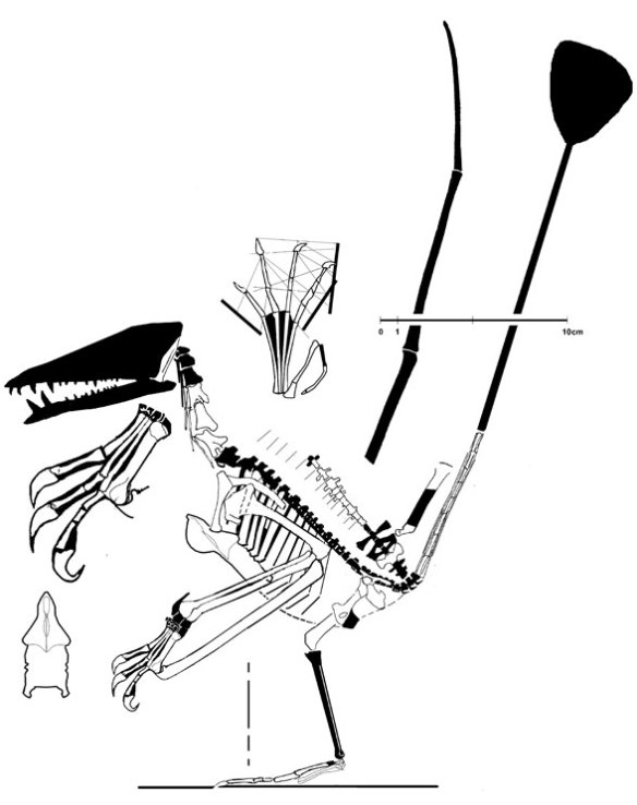 Figure 1. Nesodactylus reconstructed.
