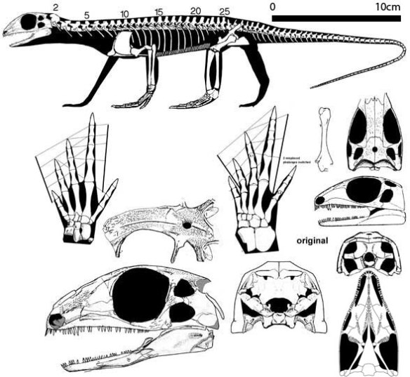 Figure 2. Petrolacosaurus is an earlier sister to Araeoscelis with a definite diapsid temporal configuration, but oddly the upper temporal fenestra is largely lateral in this taxon.