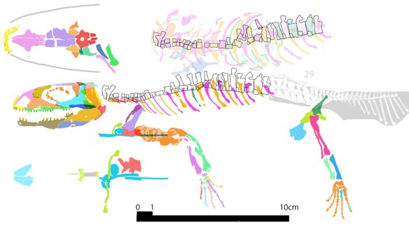 Figure 2. Romeriscus reconstructed using DGS, copying and pasting colorized bones into their in vivo places.