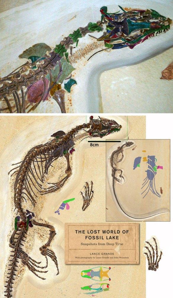 Figure 1. Saniwa ensidens FMNH PR 2378 with bones colorized.