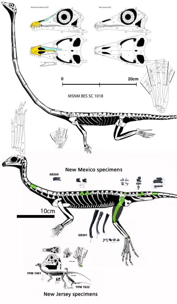 Figure 1. Giant Tanytrachelos from New Mexico along with the much smaller specimens from New Jersey. At top is the small specimen of Tanystropheus, all to scale.