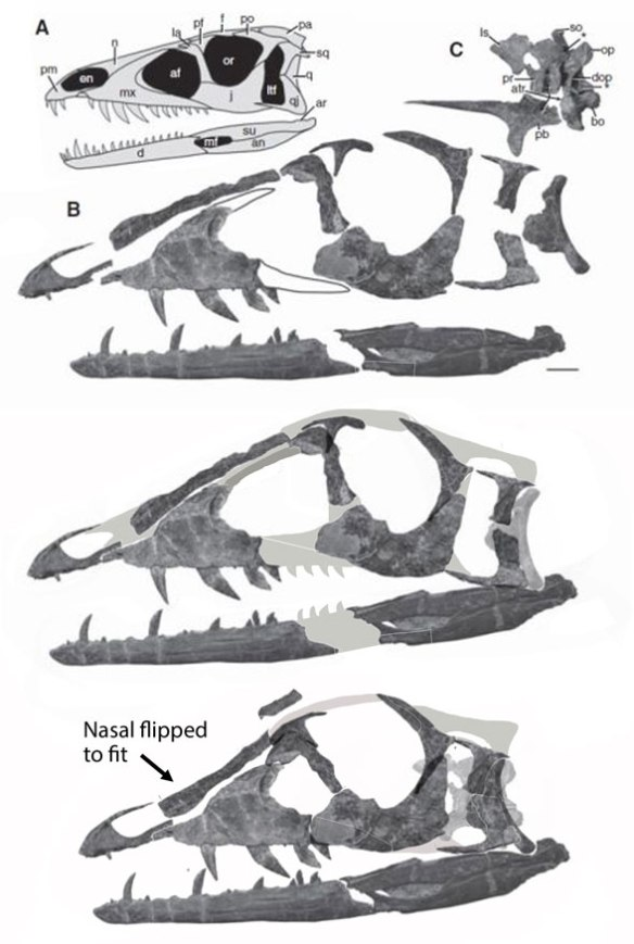 Figure 1. Tawa skull reconstructed using assembled images of the bones rather than a freehand attempt. Guys, Photoshop is our friend, not something to be avoided.