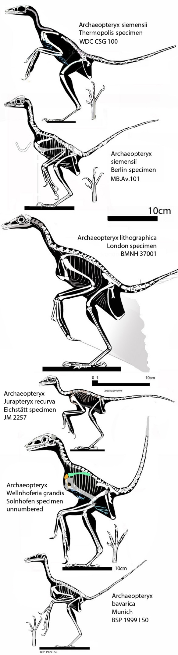 Figure 1. The six tested Solnhofen birds currently named Archaeopteryx, Jurapteryx and Wellnhoferia.