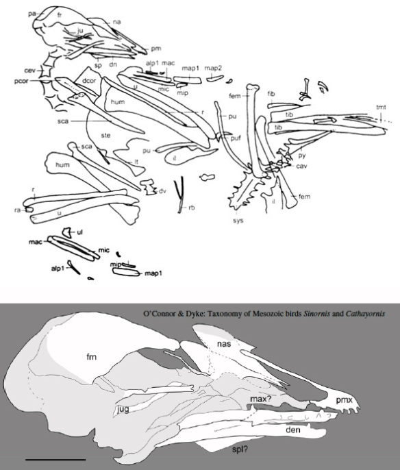 Figure 1. Above, Tracing of Cathayornis from Zhou and Zhang 1992. Below tracing of Cathayornis skull by O'Connor and Dyke 2010 traced using camera lucida. Some element labels are guesses. A few are mistakes.