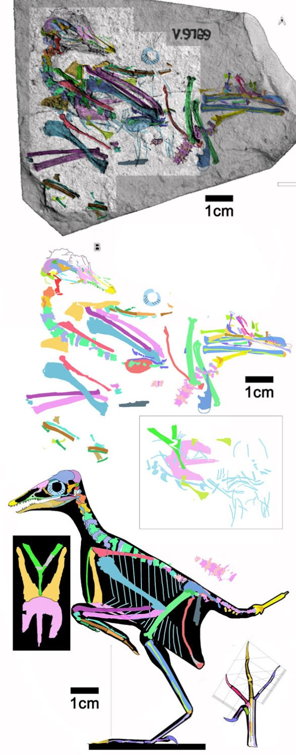 Figure 3. Cathayornis tracing and reconstruction from tracing. Boxed area are ventral and rib elements originally segregated on a distinct layer and offset here for clarity. Note the green furcula, overlooked originally.