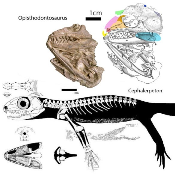 Figure 1. Opisthodontosaurus (above) with missing bones in color. Black lines represent the referred specimen, OMNH 77470 scaled to fit the holotype, OMNH 77469, here in ghosted lines. Colors represent missing bones.