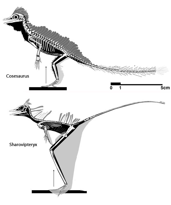 Figure 2. Cosesaurus was experimenting with a bipedal configuration according to matching Rotodactylus tracks and a coracoid shape similar to those of flapping tetrapods. Long-legged Sharovipteryx was fully committed to a bipedal configuration.