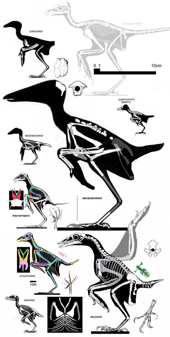 Figure 4. Enanthiornithine birds to scale. Click to enlarge.