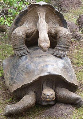 Figure 1. Galapagos turtles. Note the anterior direction of the elbows, very odd for a tetrapod.