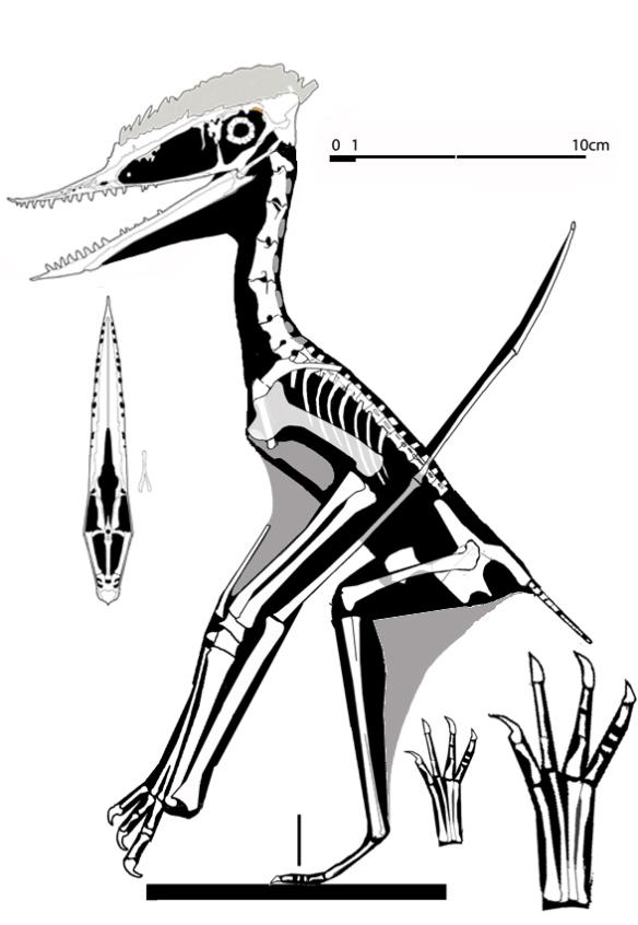 Figure 4. Germanodactylus cristatus with newly revised skull.