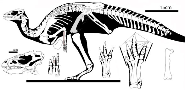 Figure 1. Haya in lateral view.