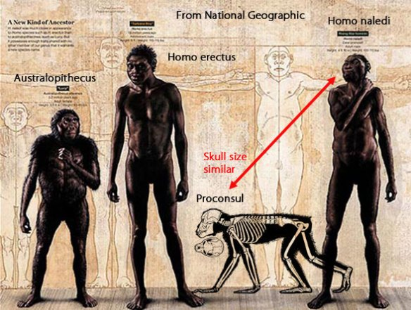Figure 1. When hominids became bipedal, their hind limbs became longer.