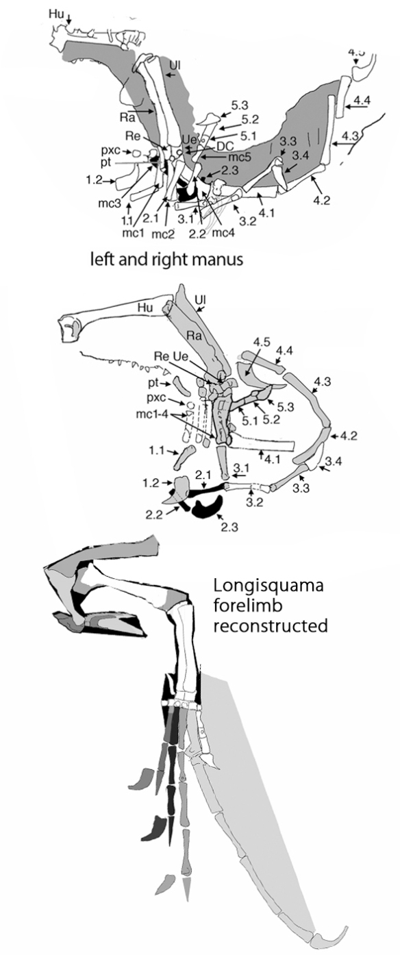 Figure 1. Longisquama left and right manus traced using DGS then reconstructed (below). This is a very large hand for a fenestrasaur and manual digit 4 is oversized, as in pterosaurs.