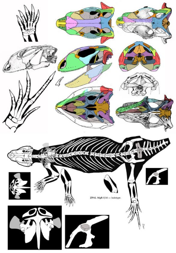 Figure 1. Macrocephalosaurus (=Gilmoreteis) in several views. Data from Sulimski 1975.