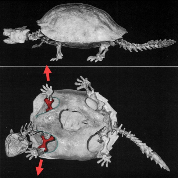 Figure 5. Meiolania, the most primitive of known turtles, has lateral forelimbs, like non turtles.