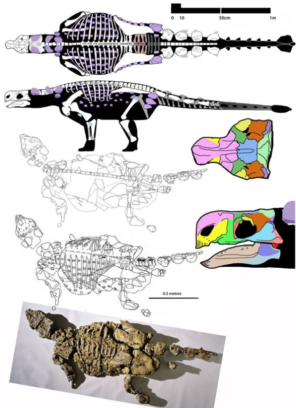 Figbure 2. Minmi paravertebra as found, tracings in both dorsal and ventral aspect and reconstruction based on the tracings.
