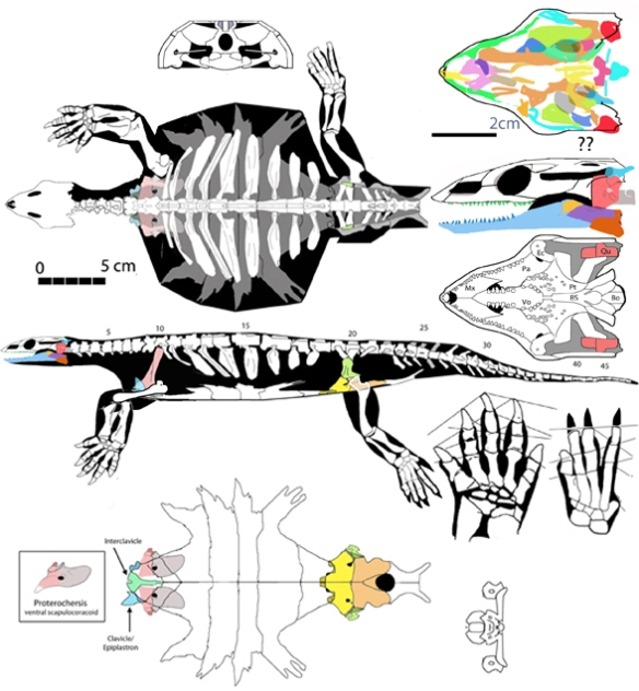 Figure 2. Odontochelys is a basal soft-shell turtle with teeth and anterior elbows and extremely pronated forelimbs.