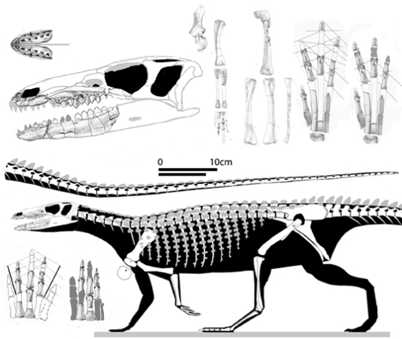 Figure 1. Scutellosaurus is a small armored ornithischian transitional between Lesothosaurus and Stegosaurus.