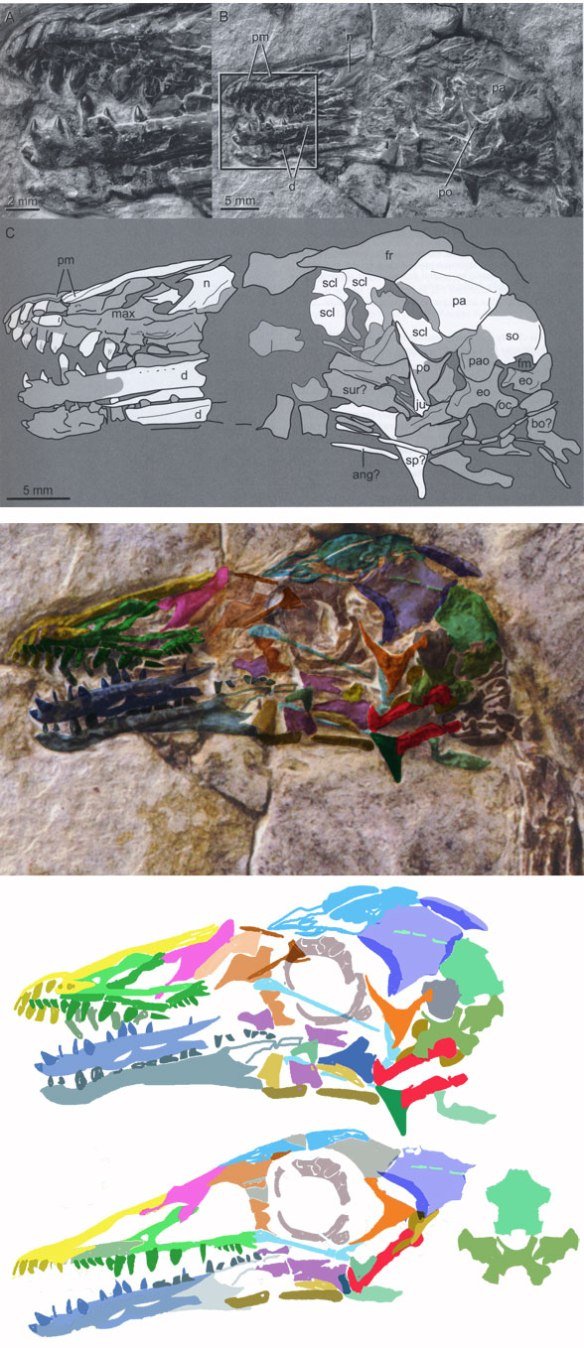 Figure 3. Sulcavis skull as originally interpreted (above) and traced using the DGS method (middle) to create a reconstruction (below).
