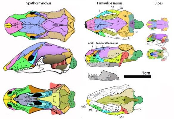 Figure 2. Spathorhynchus, Tamaulipasaurus and Bipes to scale.