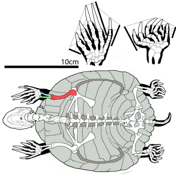 Figure 2. Box turtle (Terrapene) ventral view with humerus, in red. Elbows anterior here, hands extremely pronated.