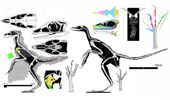 Figure 1. Eosinopteryx, a pre-bird, compared to Archaeopteryx, a basal bird to scale. Click to enlarge.