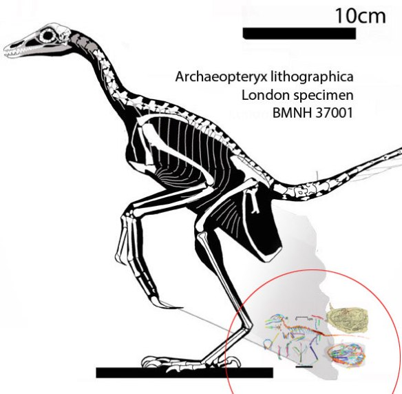Figure 3. The Liaoning embryo compared to its closest sister, the London specimen of Archaeopteryx (holotype). The egg is the correct size to pass through the ischia if they were separated distally. like modern birds,