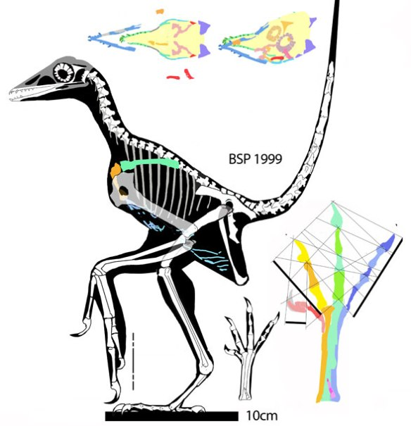 Figure 1. Wellnhoferia grandis added to the large reptile tree nests at the base of all extant birds, Euornithes, and their extinct relatives, distinct from three other Archaeopteryx specimens. The skull is poorly preserved but these parts, if valid, are preserved in impressions, No sternum or clavicles have been found. Rather the gastralia extend to the coracoids here.
