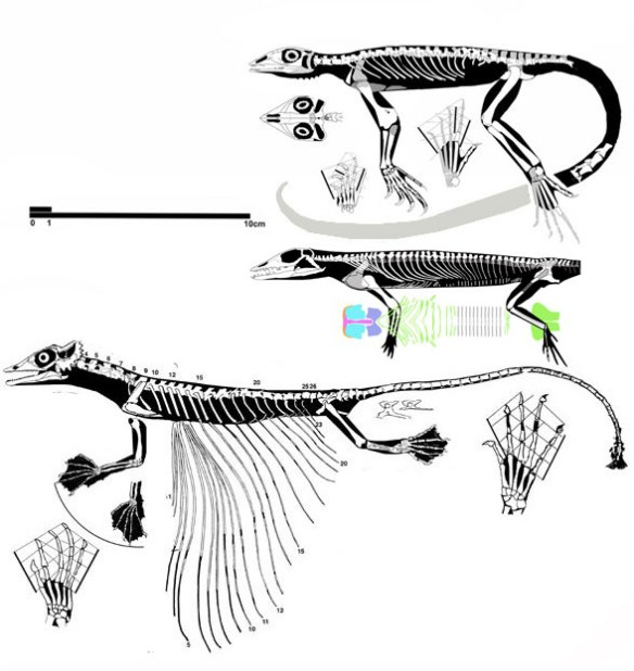 Figure 4. Jesarosaurus to scale with sisters Palaegama and Coelurosauravus.