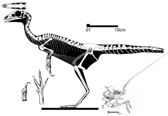 Figure 1. Compsognathus in lateral view. Small inset at reduced scale shows complete tail. Note the variety of neural spines along the spinal column.