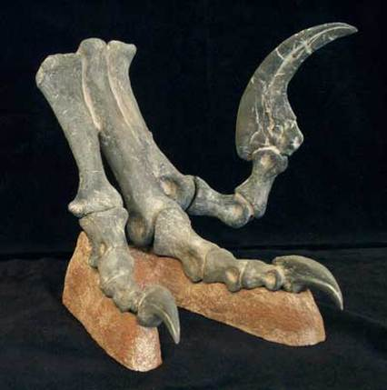 Figure 4. Deinonychus with elevated pedal digit 2 demonstrating hyperextension.