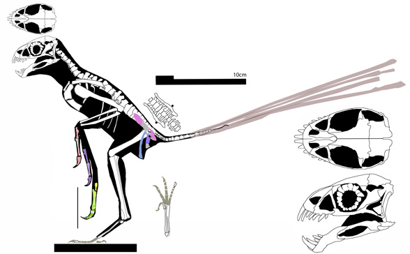 Figure 3. Epidexipteryx, another scansoriopterygid with a bird-like pelvis.