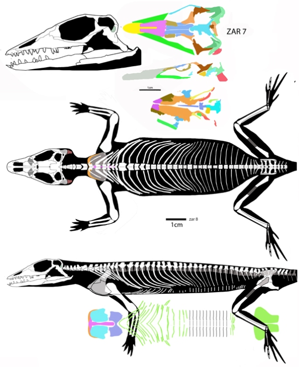 Figure 1. New reconstruction of the basal lepidosauriform, Jesairosaurus (Jalil 1993).