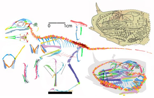 Figure 1. Click to enlarge. Liaoning bird embryo IVPP V14238 reconstructed Egg tracing in DGS compared to original tracing (in olive). Note the universally observed long tail and the continuation of the tail vertebrae past the back of the skull. Note the broken clavicles. When rotated they form more of a U shape. The dorsal coracoid is a convex and the ventral scapula is concave, an enanthiornithine key trait.